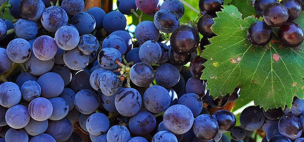 Grapes from Sardinia